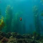 Kelp_Kelletia habitat